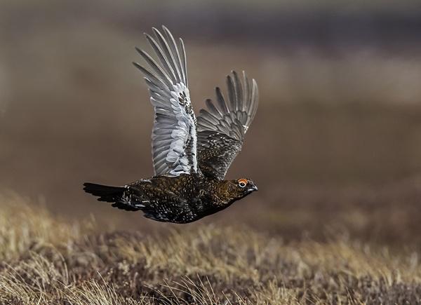 Red Grouse In Flight by rogerdoger