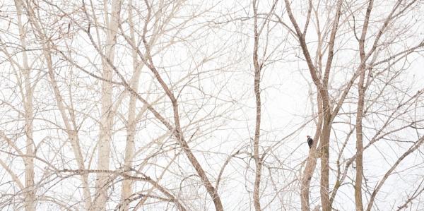 pileated woodpecker by wm