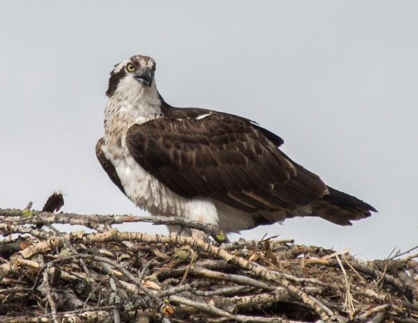 osprey 2 by wm