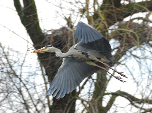 Grey Heron by heron