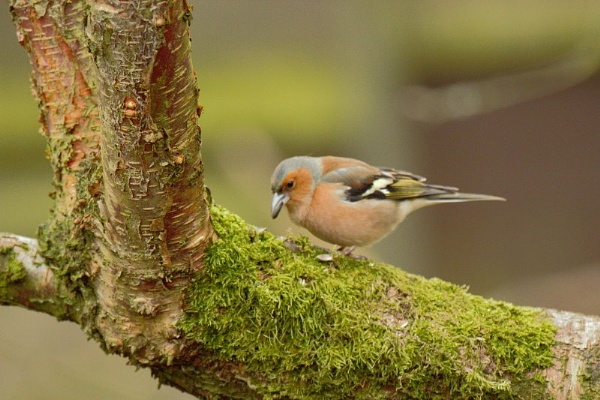 Chaffinch by Peter_West
