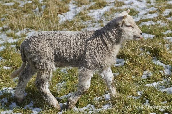 spring Lamb 2 by P_Thompson
