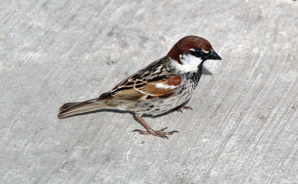 Maltese sparrow by richardCJ