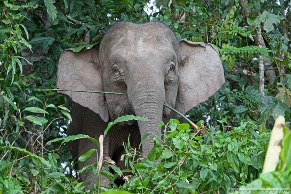 Pygmy Elephant of Borneo by brian17302