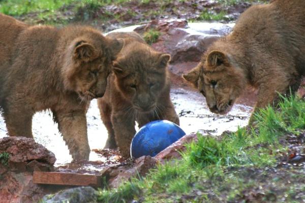 Cubs at play by Tigger1