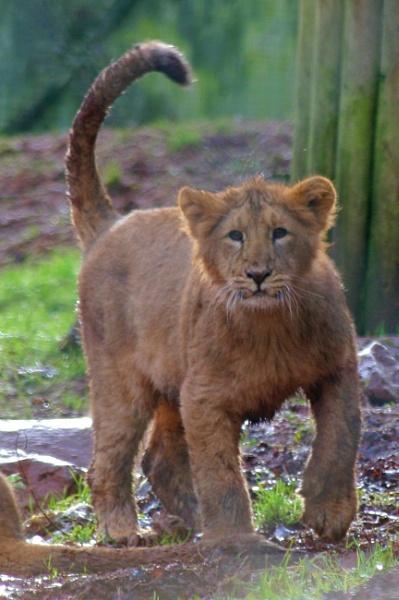 One muddy lion cub! by Tigger1