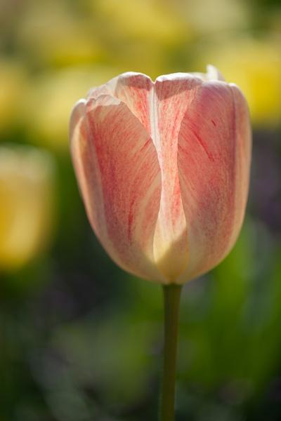 Tulip by ARodders