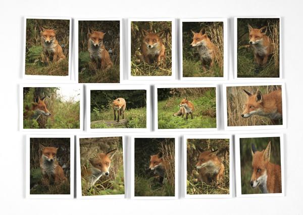 The Fox by desborokev