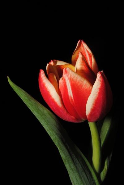 Tulip on black by pentaxpatty