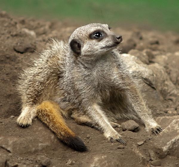 Meerkat by pp1