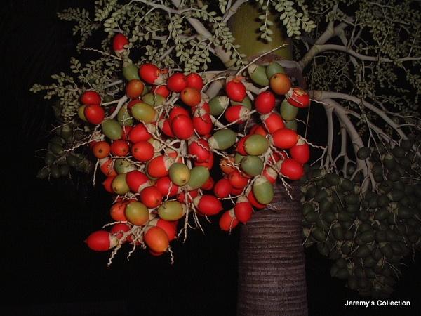 Coolie Plum Tree by Jeremy_Smith