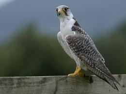 Lanner Falcon  ( Falco biarmicus )