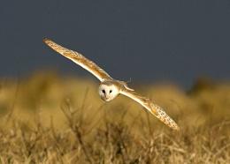 Coastal Barn Owl