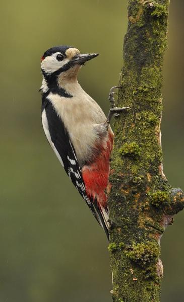 Great Spotted Woodpecker Male by KBan