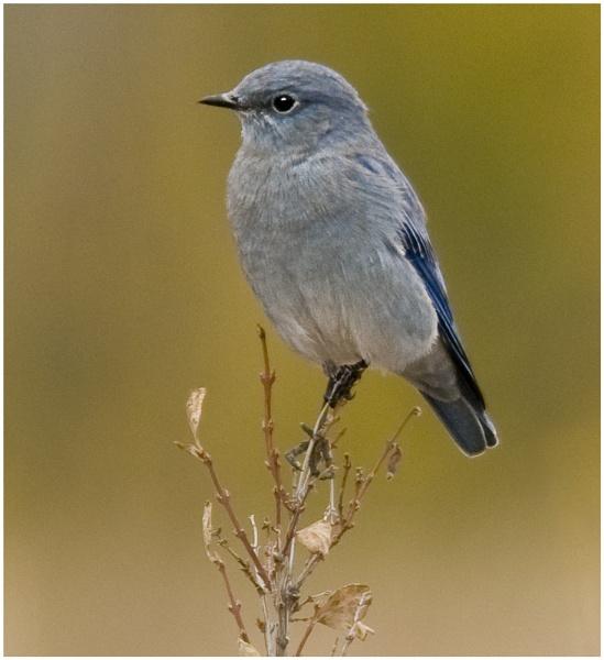 American Bluebird by dven