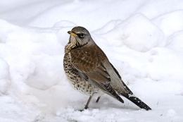 Fieldfare in the Snow