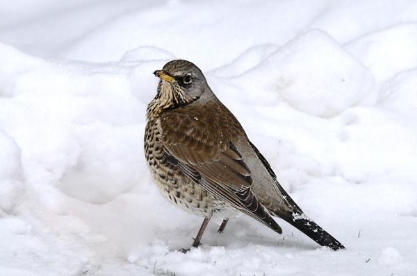 Fieldfare in the Snow by dven