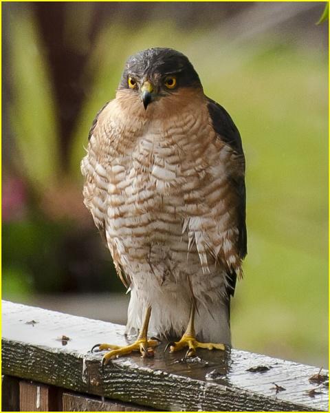Sparrowhawk by DavePrince