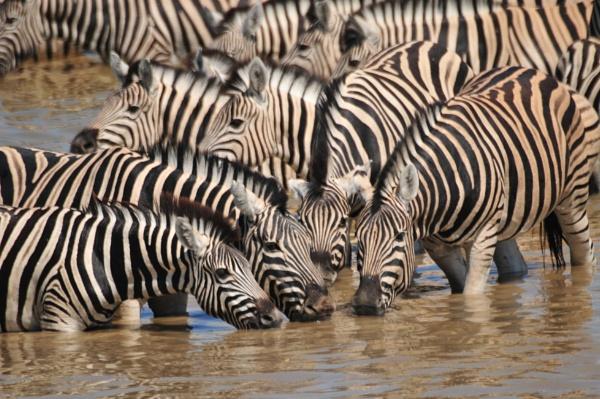 Zebra pool by Kool_Kat