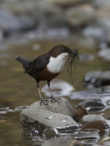 Dipper nestbuilding by pronature