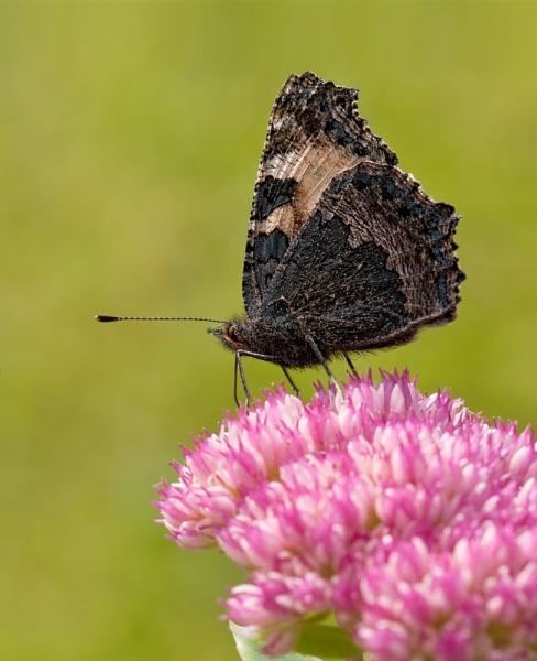 Male Tortoiseshell Butterfly by FeatherFriend