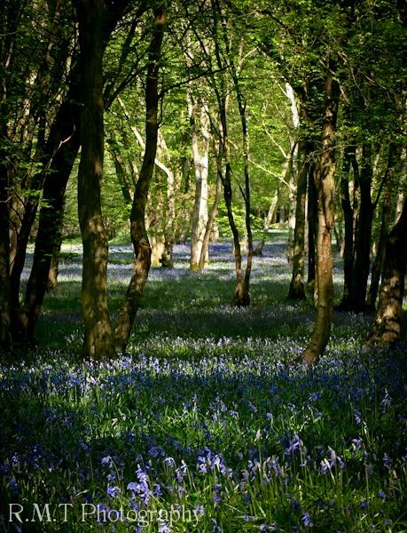 Wood of Bluebells by RustyBoy