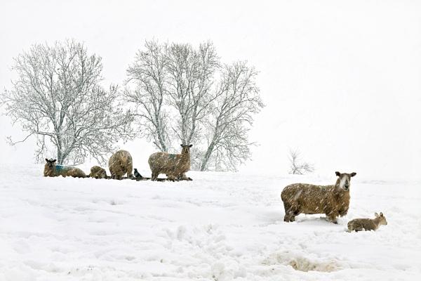 spring lambs by Mynett