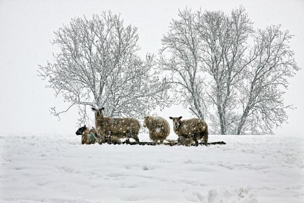 Spring Lambs II by Mynett