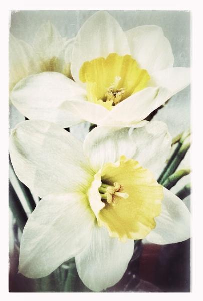 Daffodils by purplejellyfish500
