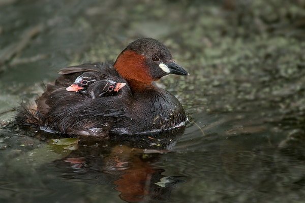 Little grebe with chicks by mikepearce
