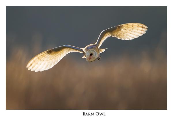 Barn Owl by ROB1972