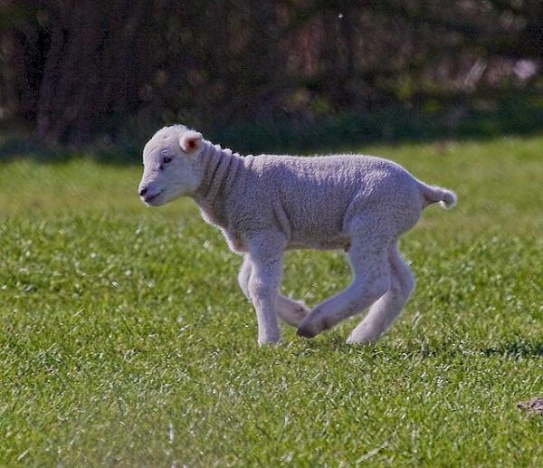 spring lamb by phil19belfield
