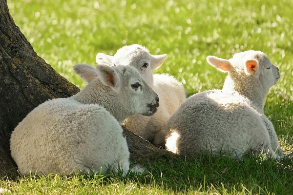 Spring Lambs by jason901