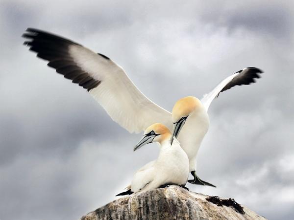 Northern Gannets by Jamie_MacArthur
