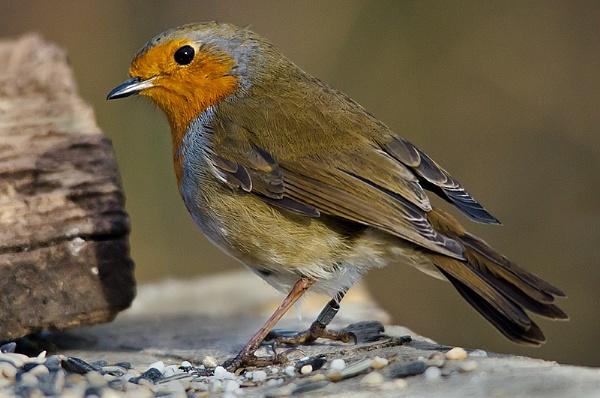 Robin by icphoto