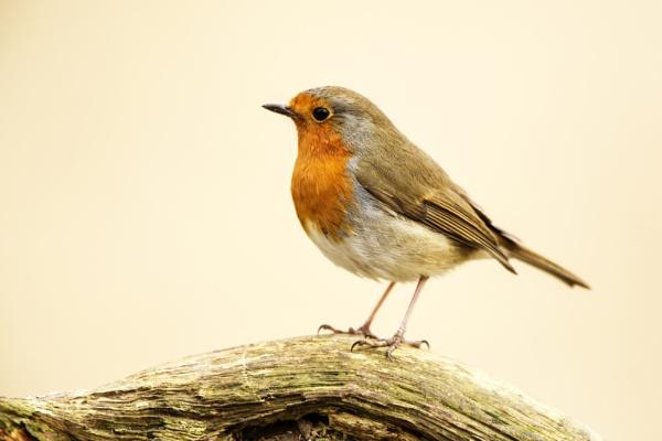 Robin by RichieL
