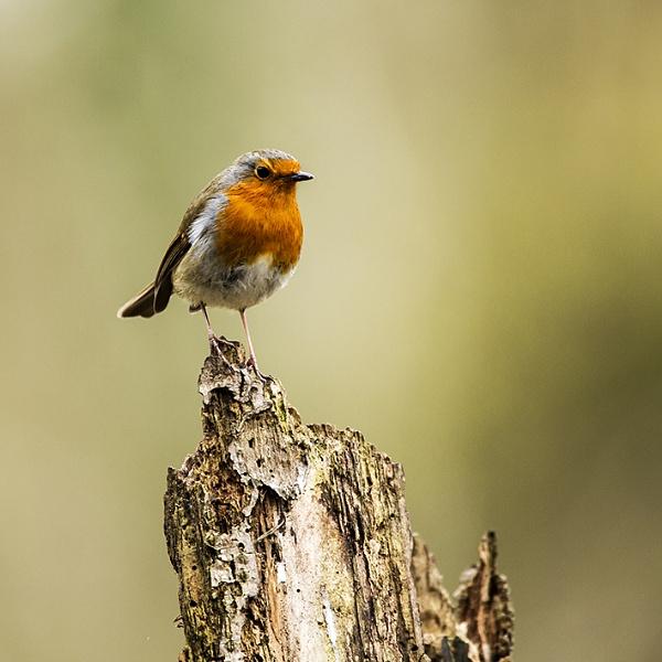 Robin 2 by RichieL