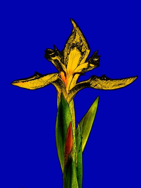 Iris Art by sdixon2380