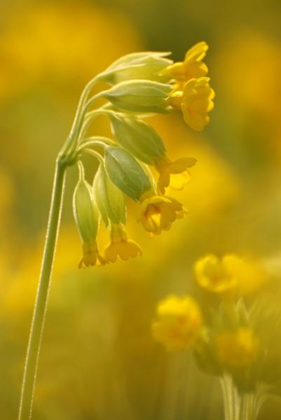 The Cowslip -  Primula veris by Kim Walton
