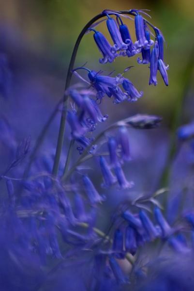 The Blue Bell __Hyacinthoides non-scripta by Kim Walton