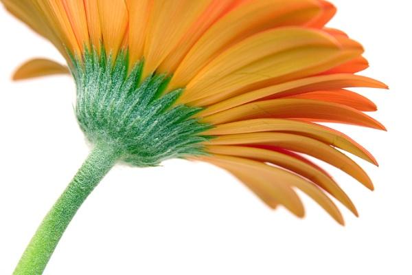 Orange Gerbera Daisy by TimJ
