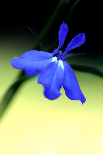 Blue Lobelia by TimJ