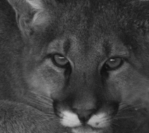 mountain lion by wm