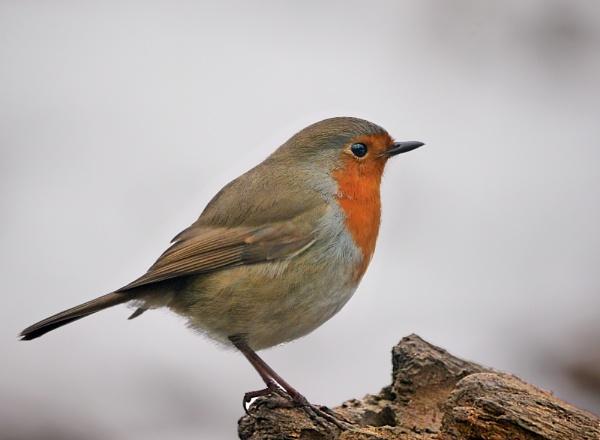 Robin by heron