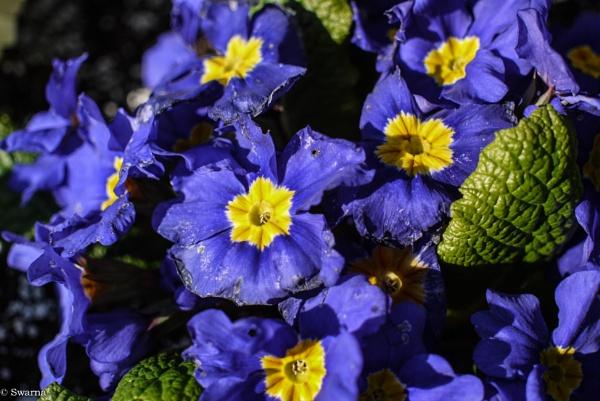 Flowers VIII by Swarnadip