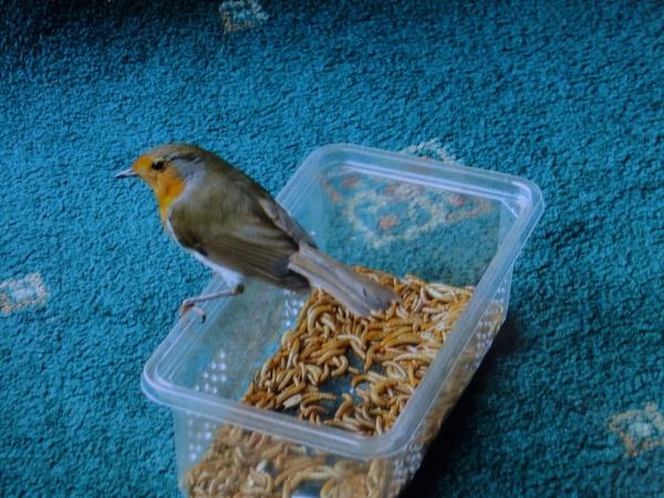Robin by Derek_Fearn