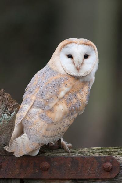 Barn Owl by livinglevels