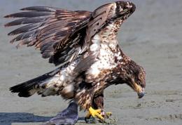 Eagle Junior  in  the  U.S.  pose