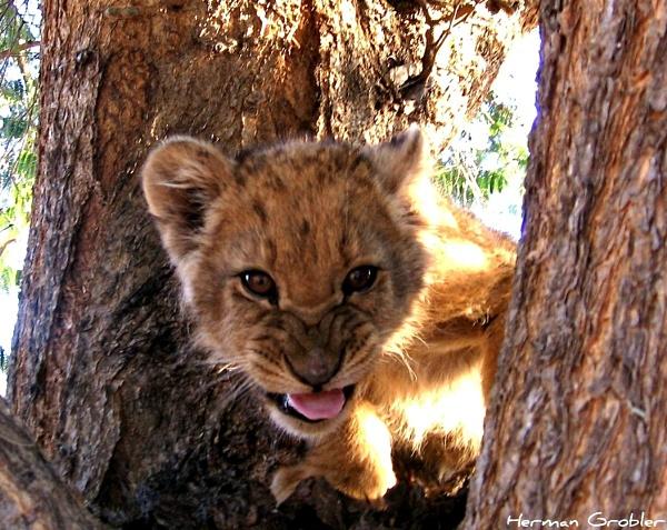 Dangerous Cub by Hermanus