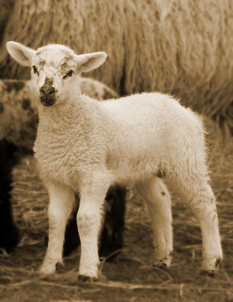 little lamb ~ by megan99